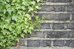 Ivy on a wall background Stock Photo