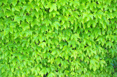 Ivy on wall background Royalty Free Stock Photography