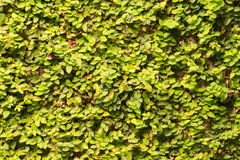 Ivy on wall background Stock Photos