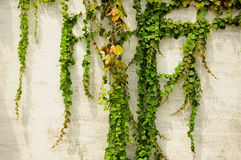 Ivy wall background Royalty Free Stock Image