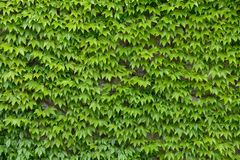 Ivy wall background Royalty Free Stock Photos