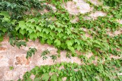 Ivy on the wall background pattern Royalty Free Stock Images