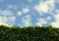 Ivy wall blue sky with clouds Royalty Free Stock Photography