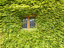 Ivy Royalty Free Stock Photography