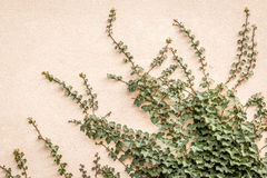 Ivy on the wall. Climbing Ivy on the wall Royalty Free Stock Image