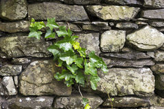 Ivy on the wall Royalty Free Stock Photography