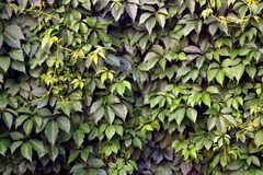 Ivy. Wall, color abstract photography Royalty Free Stock Photos