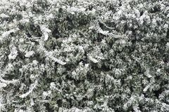 Ivy on a wall covered in ice frost forming winter background Stock Photography