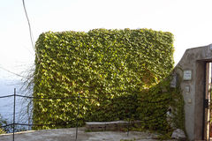 Ivy wall covered with ivy Royalty Free Stock Photo
