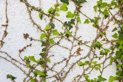 Ivy on wall of the destroyed building Royalty Free Stock Photography
