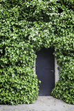 Ivy on the wall and the door Royalty Free Stock Photography