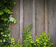 Ivy Wall Frame Royalty Free Stock Image