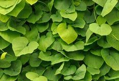 Ivy wall in garden Stock Photos