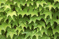 Ivy Wall. Ivy Wall in green coulor. Background for text of plants Stock Photo