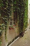 Ivy on the wall Royalty Free Stock Images