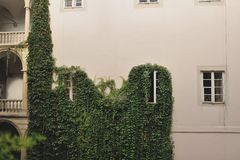 Ivy on the wall Royalty Free Stock Image