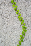 Ivy on wall. Ivy growing on the wall early in the spring Stock Photography