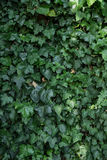 Ivy wall. Ivy growing on wall in a garden Stock Image