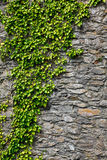 Ivy on a wall Royalty Free Stock Photos