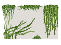 Ivy on wall. Hanging branches of the vines on the wall Stock Images