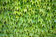 Ivy wall. Ivy leaves covering whole dividing wall in a garden Royalty Free Stock Images