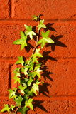 Ivy on a wall Stock Photo