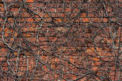 Ivy wall Stock Photos