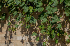 Ivy wall royalty free stock photos
