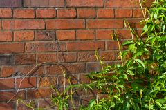Ivy wall  and old red brick wall
