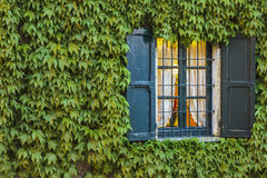 Ivy on the wall. An old wooden window surrounded by the ivy on the wall stock images