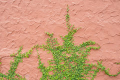Ivy wall Stock Photo