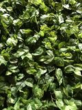Ivy wall Royalty Free Stock Photography