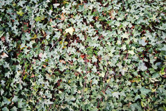 Ivy on wall Royalty Free Stock Photo