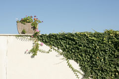 Ivy on the wall. Ivy and a pot of flowers on the wall of a village house in Bulgaria Stock Photos