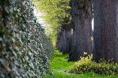 Ivy wall and a row of big old tree trunks Stock Photos