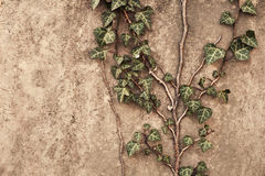 Ivy on wall Royalty Free Stock Photography