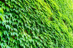 Ivy on the wall stock photography