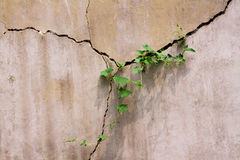 Ivy in the wall Stock Photography