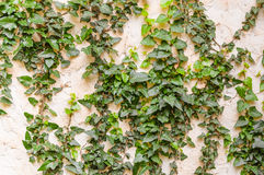 Ivy on wall Royalty Free Stock Photos
