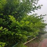 Ivy Wall Texture verde com folha luxúria imagens de stock royalty free