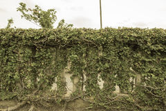 Ivy. On the wall thailand Royalty Free Stock Images