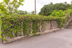 Ivy. On the wall thailand Royalty Free Stock Image