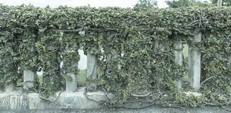 Ivy. On the wall thailand Royalty Free Stock Photo