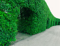 Ivy. On the wall thailand Royalty Free Stock Photography
