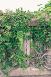 Ivy. On the wall thailand Stock Photos