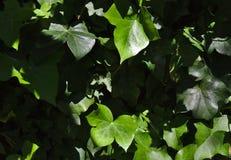 Ivy Wall verde-clara imagens de stock