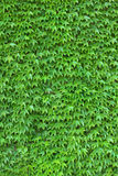 Ivy Wall vertical. Dense ivy on wall fresh green leaves texture background Stock Images