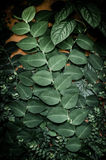 Ivy on wall Stock Photography