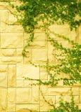 Ivy Walls Stock Photos