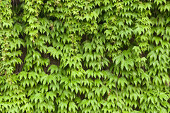 Ivy walls Stock Images